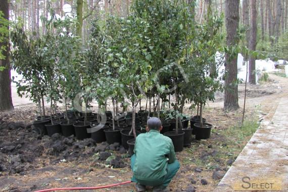 Озеленение плодовыми деревьями парковой зоны на вилле в подмосковье