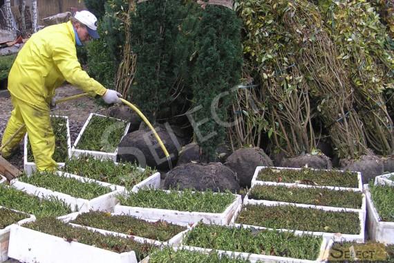 Получение озеленения из питомника и поддержание в живом состоянии растений